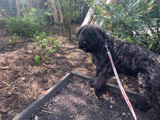 Bailey, de Bouvierpup bij de puppydagopvang